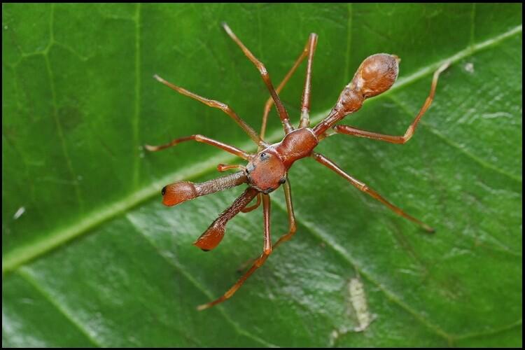 Муравьиные пауки-скакуны
