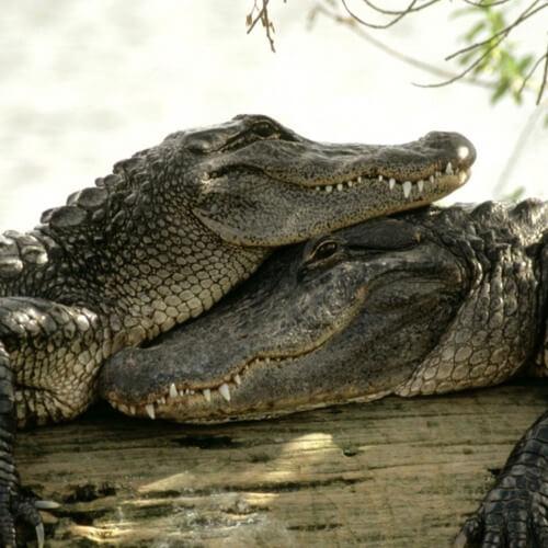 Самые опасные животные Африки. Африканский крокодил