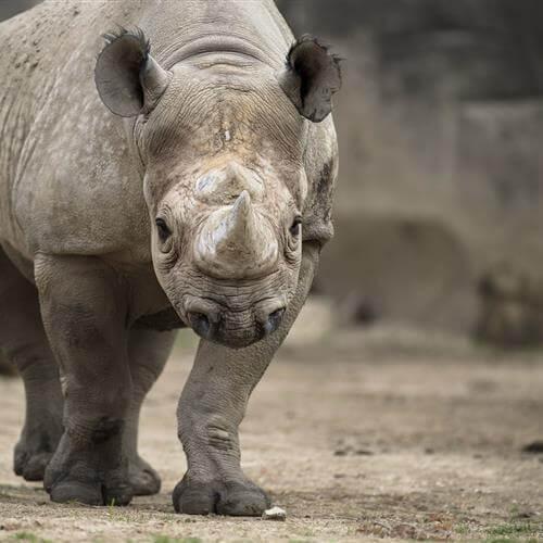 Самые опасные животные Африки. Носорог