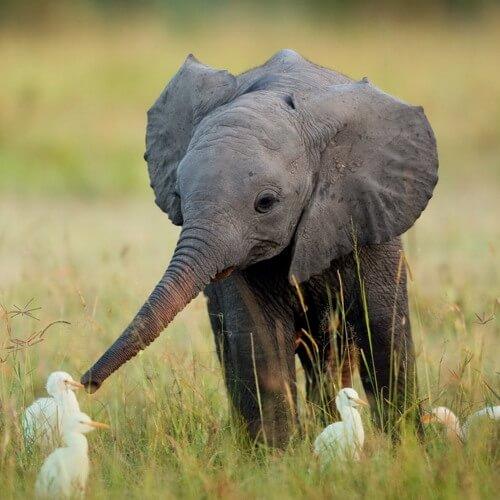 Самые опасные животные Африки. Слон