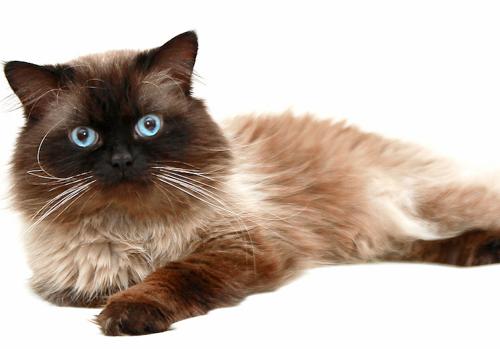 Самые дорогие кошки, гималайская кошка, гималайская кошка фото, гималайские кошки, цена, описание