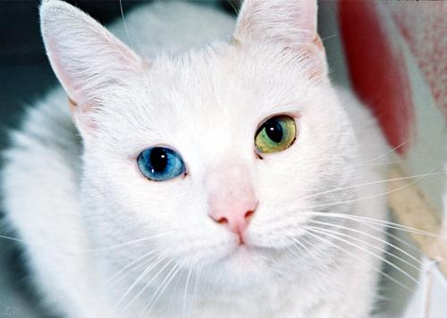 Самые дорогие кошки, као-мани, као-мани фото, кошки као-мани, цена, описание