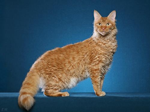 Самые дорогие кошки, лаперм, лаперм фото, кошки лаперм, цена, описание