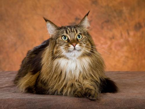 Кошки Мейн-кун. Порода кошек мейн кун фото. Цена. Описание
