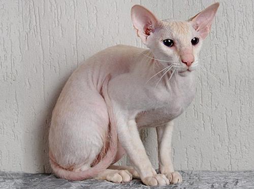 Самые дорогие кошки, Петерболд, Петерболд фото, кошки петерболд, цена, описание
