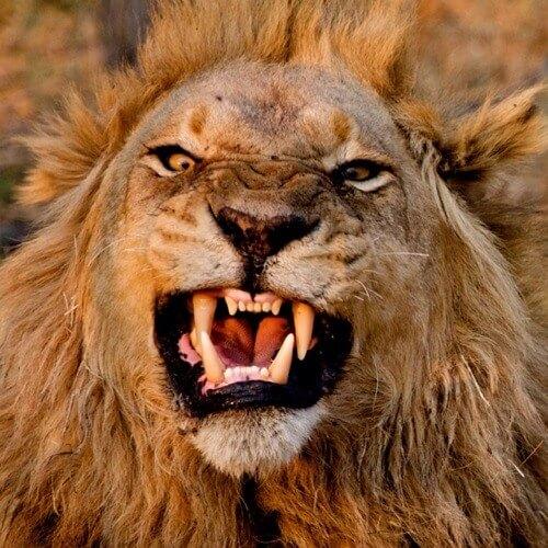 Самые опасные животные Африки. Лев
