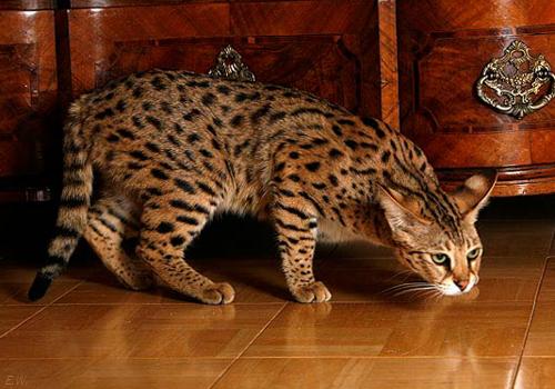 Порода кошек Саванна. Самые дорогие кошки