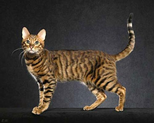 Серенгети кошка. Порода кошек серенгети фото