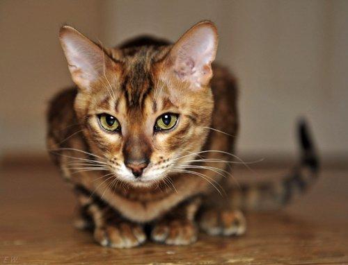 Порода кошек Тойгер. Реальная фотография. Цена. Описание