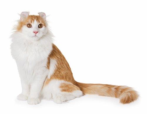 Самые дорогие кошки, американский керл, американский керл, фото, кошки американский керл, цена, описание