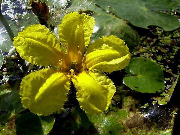 Хищные растения. Пузырчатка