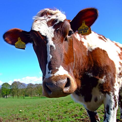 Самые вредные продукты питания. Парное молоко
