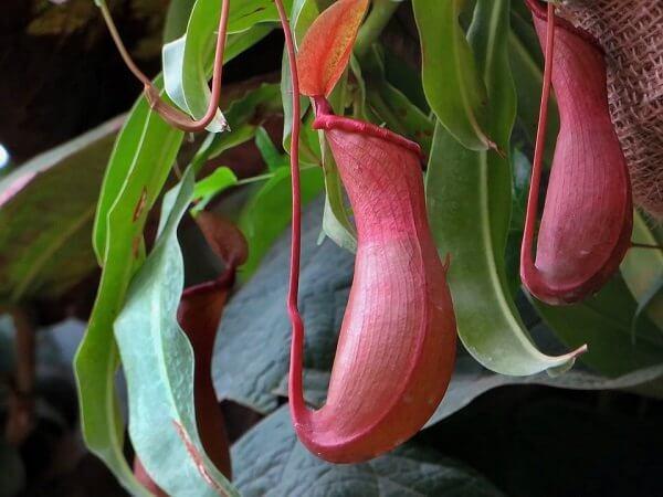 Хищные растения. Непентес