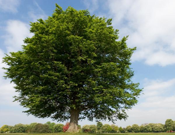 Бук, Самые гигантские деревья планеты