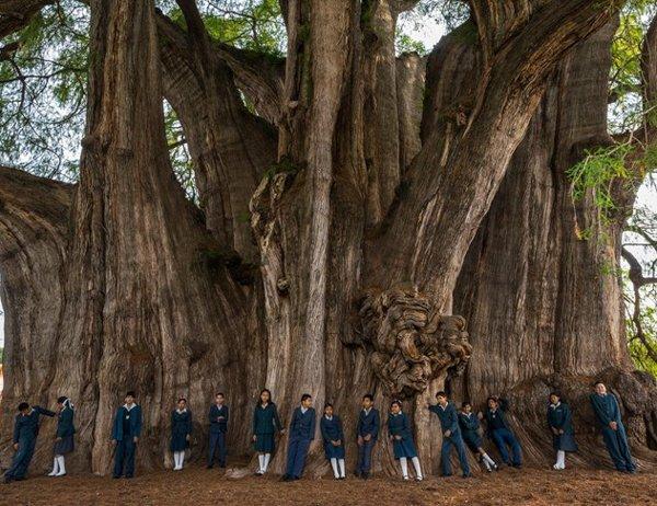 Дерево Туле, Самые гигантские деревья планеты