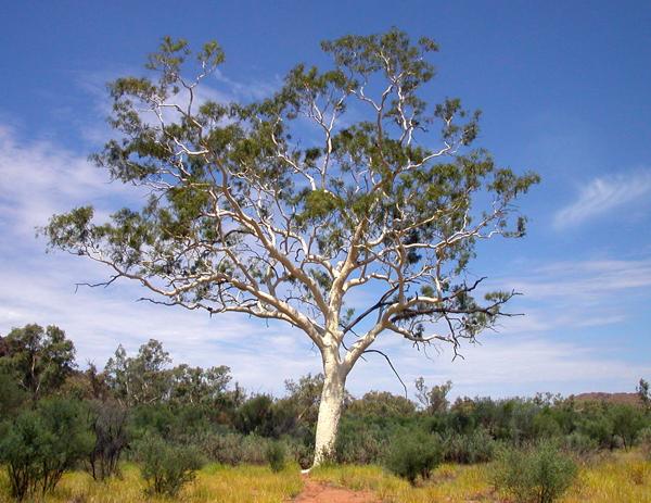 Эвкалипт,Самые гигантские деревья планеты