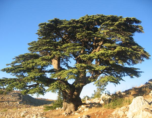 Ливанский кедр. Самые гигантские деревья планеты