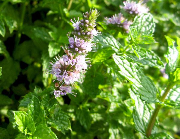 Мята, лекарственные растения, травы против стресса