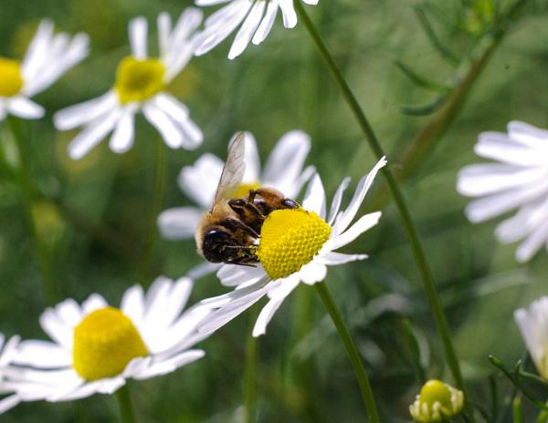 Ромашка, успокоительные травы, лекарственные растения