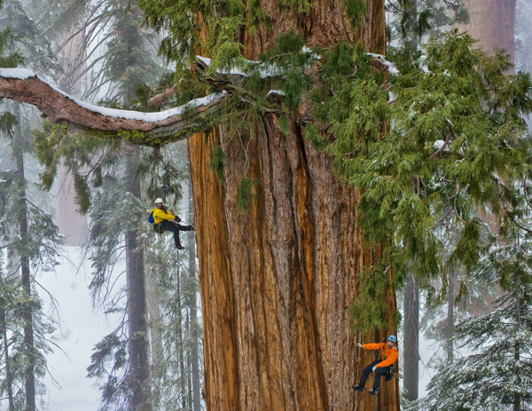 Секвойя Гиперион, Самые гигантские деревья планеты