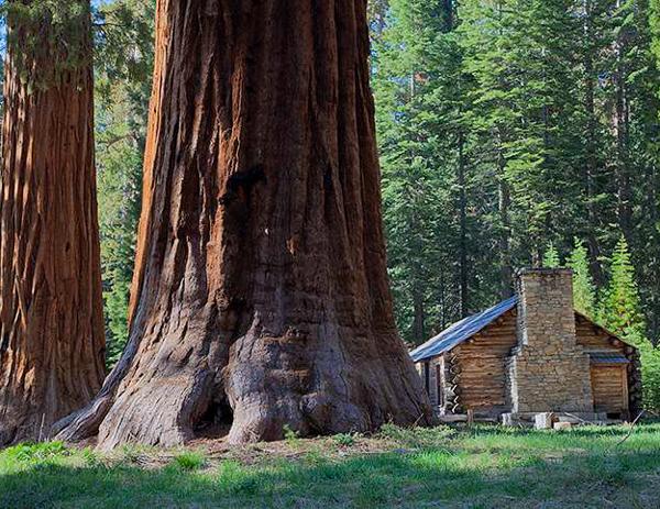Секвойя, Самые гигантские деревья планеты