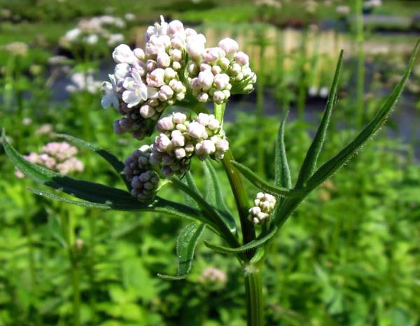 Валериана, травы против стресса, успокоительные травы
