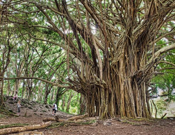 Великий баньян, Самые гигантские деревья планеты