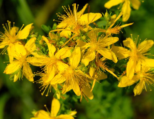 Зверобой, травы против стресса, лекарственные растения