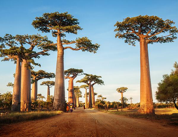 Баобаб, Самые гигантские деревья планеты