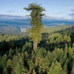 Гигантские деревья планеты. Размеры этих растений поражают воображение!