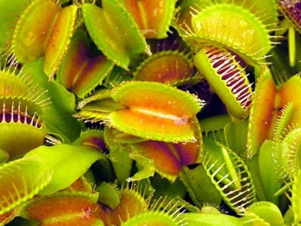 Хищные растения. Венерина мухоловка