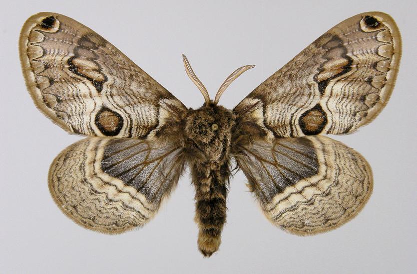 Редкие бабочки. Брамея европейская