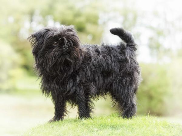 Аффенпинчер,Самые мелкие породы собак