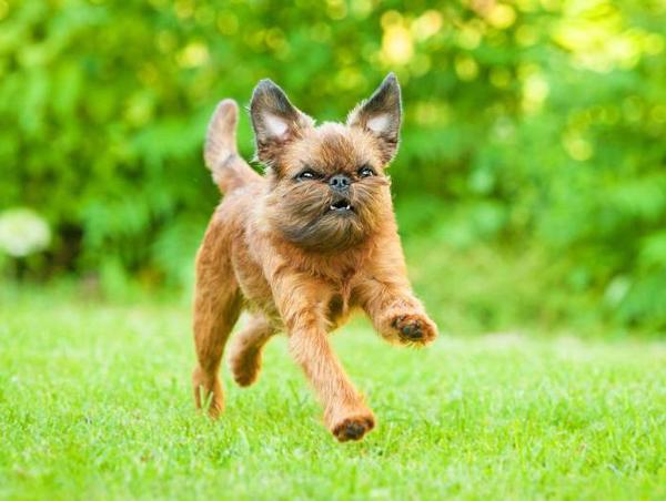 Самые мелкие породы собак, Брюссельский гриффон
