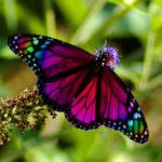 Редкие бабочки. На грани исчезновения