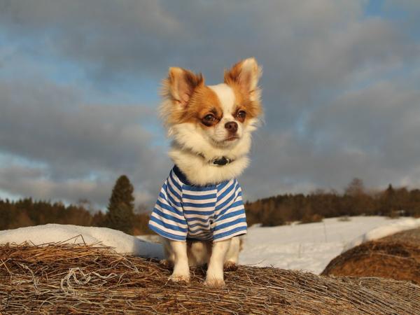 Самые мелкие породы собак,Чихуахуа