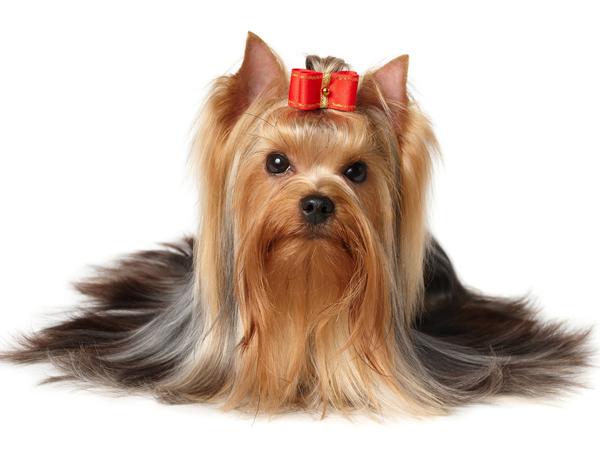 Йоркширский терьер, самые мелкие породы собак
