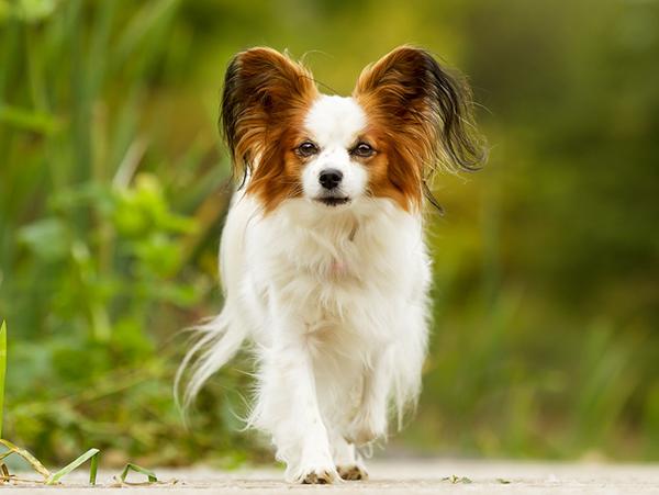 Самые мелкие породы собак,Папильон