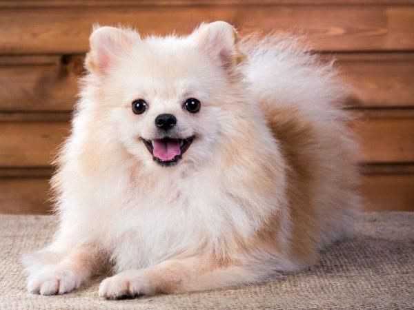 Померанский шпиц, самые мелкие породы собак
