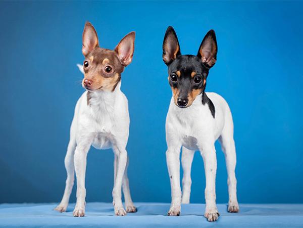 Американский той — фокстерьер, Самые мелкие породы собак