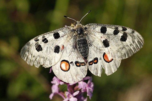 Редкие бабочки. Аполлон