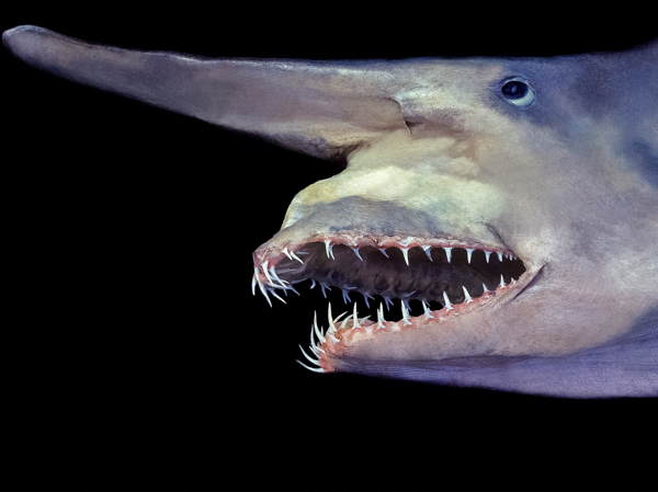 Самые страшные животные. Акула-домовой (гоблин)