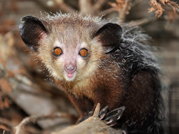 Самые страшные животные. Мадагаскарская руконожка (ай-ай)