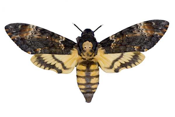 Редкие бабочки. Мертвая голова