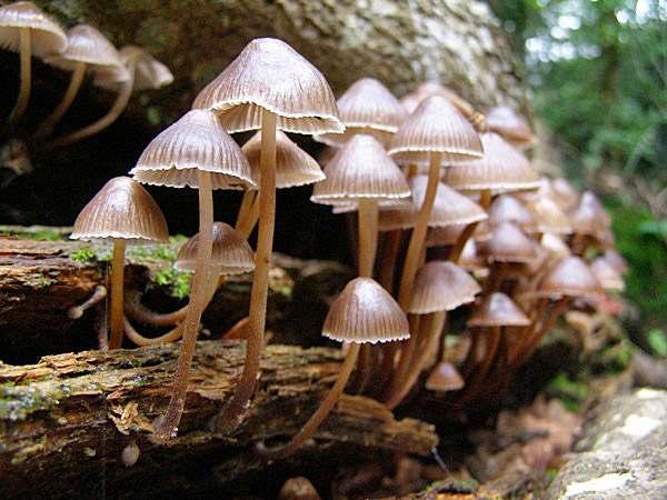 Ядовитые грибы Подмосковья. Мицена чистая