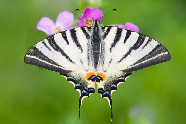 Редкие бабочки. Подалирий
