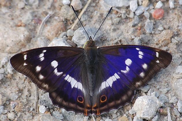 Редкие бабочки. Радужница Шренка