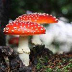 Ядовитые грибы Подмосковья. Будьте осторожны, отправляясь на тихую охоту!