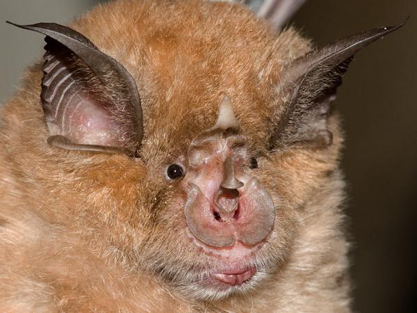Самые страшные животные. Подковоносная летучая мышь