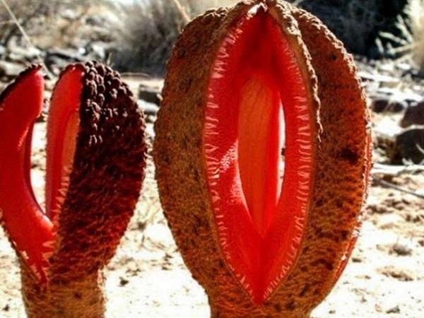 Необычные растения. Гиднора африканская